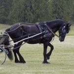 Horse baulking